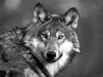 Die Kontroverse um den Wolf in Deutschland